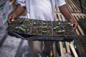 WESTOVER, MD - MAY 27: Edward Carroll shows off trays of plants in a greenhouse as inmates tend to a garden at the Eastern Correctional Institute in Westover, MD on Wednesday, May 27, 2015. (Photo by Jabin Botsford/The Washington Post)